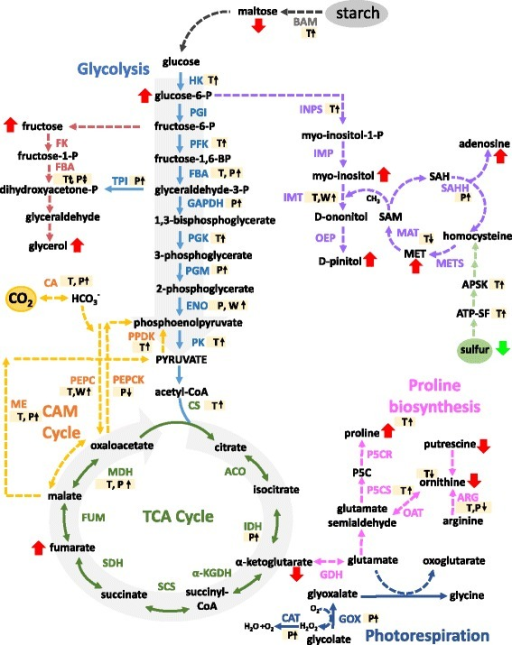 Integration of transcript, protein, metabolite and ionome data into EBC metabolic pathways. Data from all studies was obtained from 6-week-old plants treated for 2 weeks with 200 mM NaCl. Bladder cell extract was collected at the end of the dark period. Transcriptomic data from Oh et al., [24] and metabolomics data from Barkla and Vera-Estrella, [28]. T, transcript; P, protein and W, western blot analysis. Red arrows indicate changes in metabolites. Enzyme abbreviations: BAM – ϐ-amylase, HK – hexokinase, PGI – glucose-6P-isomerase, PFK – phosphofructokinase, FBA – aldolase, TPI – triose-P-isomerase, G3PD – glyceraldehyde-3P-dehydrogenase, PGK – phosphoglycerate kinase, PGM – phosphoglycerate mutase, ENO – enolase, PK- pyruvate kinase, FK – fructokinase, CS – citrate synthase, ACO – aconitase, IDH – isocitrate dehydrogenase, α-KGDH - α-ketoglutarate dehydrogenase, SCS – succinyl-CoA synthetase, SDH – succinate dehydrogenase, FUM – fumerase, MDH – malate dehydrogenase, PEPCK – PEP carboxykinase, ME – malic enzyme, PEPC – phosphoenolpyruvate carboxylase, PPDK – pyruvate-Pi-dikinase, CA – carbonic anhydrase, GDH – glutamate dehydrogenase, P5CS - pyrroline-5-carboxylate synthase, P5CR - pyrroline-5-carboxylase reductase, OAT - ornithine aminotransferase, ARG – arginase, INSP - myo-inositol 1-phosphate synthase, IMP – myo-inositol monophosphatase, IMT – inositol methyl transferase, OEP - ononitol epimerase, MAT – methionine adenosyltransferase, SAM - S-adenosyl methionine, SAH - S-adenosylhomocysteine, SAHH – S-adenosylhomocysteine hydrolase, MET – methionine, METS – methionine synthase, ATP-SF - ATP-sulfurylase, APSK - 5'-adenylylsulfate kinase, GOX - glucose oxidase, CAT – catalase