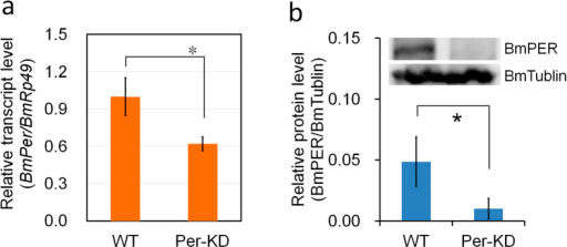 Knockdown efficiency of BmPer gene.(a) BmPer transcripts were analyzed by qRT-PCR with BmRp49 as an internal control. (b) BmPER protein levels determined by western blot with BmTublin protein as an internal control. WT, wild-type BmN cells; Per-KD, BmPer knockdown BmN cells. *p ≤ 0.05 (repeated three times).