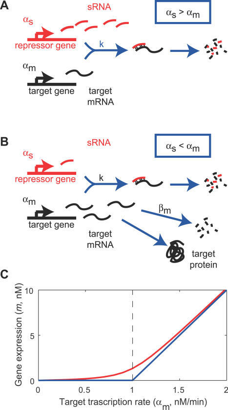 Threshold-Linear Response of a Target Gene(A) and (B) depict an idealized model for the interaction between mRNAs of a target gene and sRNAs. If the sRNA transcription rate is larger than that of the target (A), then gene expression is silenced, whereas if sRNA is transcribed less efficiently than its target (B), the residual unbound mRNAs code for proteins.(C) Predicted response curve of a target gene. The blue line depicts the idealized threshold-linear mode of regulation in which gene expression is completely silenced if the target transcription rate is below a threshold set by the transcription rate of the sRNA (indicated by the dashed line). Above this threshold, gene expression increases linearly with the difference between the mRNA and sRNA transcription rates. The idealized scenario is expected when binding between sRNA and mRNA occurs extremely rapidly. The red line is the actual response expected according to Equation 2, using the estimated parameters of Table 1, column 3 for αs = 1 nM/min.