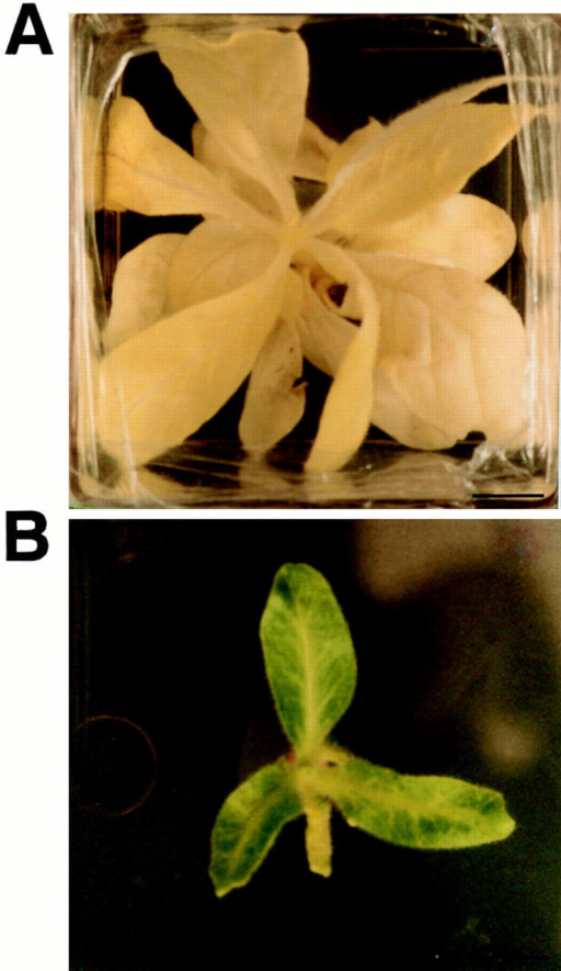 Phenotype of homoplasmic Δycf3 plants. (A) A mutant  plant kept under standard light conditions (3.5–4 W/m2). Massive  photooxidative damage in mutant chloroplasts results in completely white plants. (B) A mutant plant grown under low light  conditions (0.4–0.5 W/m2). Bars, 1 cm.