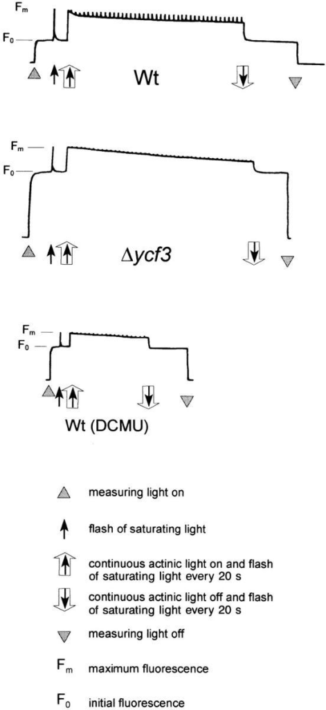 Fluorescence measurements as test for PSII activity in Δycf3 plants. Wild-type and mutant plants  grown under low light conditions were dark adapted, and  leaf samples were illuminated with white actinic light.  As a control, a wild-type  sample treated with the plastoquinone-reducing herbicide 3-(3,4-dichlorphenyl)- 1,1-dimethylurea (DCMU)  was included. PSII activity is  clearly detectable in Δycf3  plants. However, comparison  of the variable fluorescent  yields indicates that the mutant accumulates fewer functional PSII reaction centers  than the wild type, which  is most likely the result of  photooxidative damage as  caused by the lack of functional electron acceptors  downstream of PSII. The  course of the fluorescence  curve recorded for the mutant is virtually identical with the one  of the wild-type sample treated with DCMU demonstrating that  in both cases electrons accumulate in PSII and are not transferred to downstream components of the photosynthetic electron  transport chain.