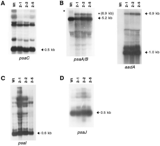 Northern blot analysis to test transcript patterns and  mRNA accumulation in wild-type and homoplasmic transformed  Δycf3 plants. Total plant RNA was hybridized to probes specific  for psaC (A), psaA (B), psaI (C), and psaJ (D). The major transcripts of ∼0.5 kb for psaC (18), 5.2 kb for psaA and psaB (17),  0.6 kb for psaI, and 0.5 kb for psaJ, respectively, are marked by  arrows. No significant differences in mRNA accumulation between wild-type and mutant plants could be detected, thus excluding a pretranslational cause of the PSI-deficient phenotype.  Note a difference in the size of a minor RNA species detected by  the psaA-specific probe (asterisks; 6.9-kb transcript in mutant  plants). This RNA species represents a polycistronic transcript  initiating far upstream of psaA. The polymorphism thus reflects  the size difference of ycf3 in wild type versus the chimeric aadA  gene in mutant plastids. (The diffuse signal in the wild-type lane  (wt) is due to the presence of splicing intermediates of the intron-containing ycf3 gene, which give rise to multiple bands.) Read-through transcription, as the cause of the appearance of these  high molecular weight mRNA species, was verified by hybridizing the blot with an aadA-specific probe (B, right panel). This  probe detects the same 6.9-kb transcript as the psaA-specific  probe in Δycf3 plants and, in addition, the 1.0-kb monocistronic  aadA transcript (and a 1.4-kb aadA transcript stabilized by the  downstream 3′-UTR of the deleted ycf3 gene).