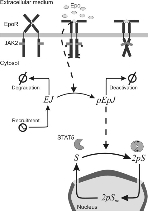 Structure of the JAK2-STAT5 pathway model proposed. Legend: Epo: concentration of Epo in the extracellular medium; EJ: fraction of non-activated EpoR/JAK2 complex; pEpJ: fraction of activated EpoR/JAK2 complex; S: fraction of non-activated and non-dimerised STAT5 in the cytosol; DpS: fraction of activated and dimerised STAT5 in the cytosol; DpSnc: fraction of activated and dimerised STAT5 inside the nucleus.