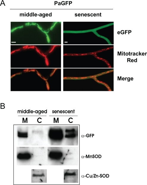 Contents of the mitochondrial matrix are released into the cytosol in senescent P. anserina strains.(A) The localization of eGFP directed into the matrix changes from mitochondrial in middle-aged strains (left) to cytoplasmic distribution in senescent strains (right). As control mitochondria are stained with MitoTracker® red CMXRos. Scale bar: 2 µm. (B) The microscopic results are verified by Western Blot analysis. eGFP (mature form and pre-protein) can be detected in the cytosol (C) of senescent strains (right), but not in middle-aged isolates (left) (M - mitochondria). Antibodies against the MnSOD (mitochondria) and the Cu/Zn-SOD (cytosol) were used as marker proteins for compartments and to show equal loading. The natively tetrameric MnSOD is retained within the mitochondria in senescence showing the size-limit for release should be between 27 kDa and ∼80 kDa.