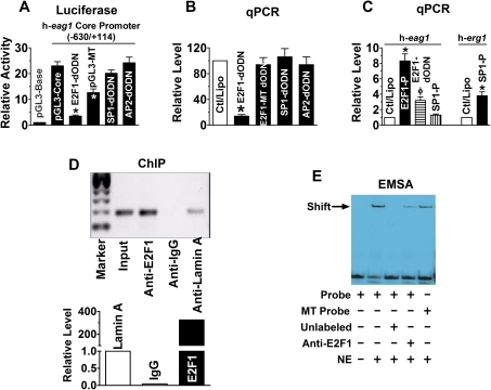 E2F1 as a transactivator of h-eag1 in SHSY5Y human neuroblastoma cells.(A) Role of E2F1 in driving the h-eag1 core promoter activity. pGL3-Base: h-eag1 promoter-free pGL3 vector for control; pGL3-Core: pGL3 vector carrying the h-eag1 core promoter (a fragment spanning -630/+114); E2F1-dODN, SP1-dODN, and AP2-dODN: the decoy oligodeoxynucleotides targeting E2F1, SP1, and AP2 transcription factors, respectively, co-transfected with pGL3-Core; pGL3-Mutant: pGL3 vector carrying a mutated h-eag1 core promoter. Transfection was carried out using lipofectamine 2000. *p<0.05 vs pGL3-Core; n = 5 for each group. (B) Changes of h-eag1 mRNA level determined by real-time quantitative RT-PCR (qPCR) in SHSY5Y cells. E2F1-dODN, E2F1-MT dODN, SP1-dODN, or AP2-dODN was transfected alone. Ctl/Lipo: cells mock-treated with lipofectamine 2000; E2F1-MT dODN: the decoy oligodeoxynucleotides targeting E2F1 with mutation at the core region. *p<0.05 vs Ctl/Lipo; n = 5 for each group. (C) Increase in h-eag1 mRNA level by overexpression of E2F1 in SHSY5Y cells transfected with the plasmid expressing the E2F1 gene. E2F1-P: pRcCMV-E2F1 expression vector (Invitrogen), the plasmid carrying the E2F1 cDNA. *p<0.05 vs Ctl/Lipo; n = 5 for each group. (D) Chromatin immunoprecipitation assay (ChIP) assay for the presence of E2F1 on its cis-acting elements in the h-eag1 promoter region in SHSY5Y cells. Left panel: the bands of PCR products of the 5′-flanking region encompassing E2F1 binding sites following immunoprecipitation with the anti-E2F1 antibody or the anti-lamin A antibody for a negative control. Right panel: averaged data on the recovered DNA by anti-E2F1 expressed as fold changes over anti-lamin A band. Input: the input representing genomic DNA prior to immunoprecipitation. (E) Electrophoresis mobility shift assay (EMSA) for the fragment encompassing the putative E2F1 cis-acting element in the h-eag1 promoter region to bind E2F1 protein in the nuclear extract from SHSY5Y cells. Probe: digoxigenin (DIG)-labeled oligonucleotides fragment containing E2F1 binding site; MT Probe: DIG-labeled fragment containing mutated E2F1 site at the core motif; NE: nuclear extract from SHSY5Y cells. Solid arrowhead points to the shifted band representing the DNA-protein complex. Note that the shifted band is weakened by anti-E2F1 antibody or with the mutant E2F1 binding motif.