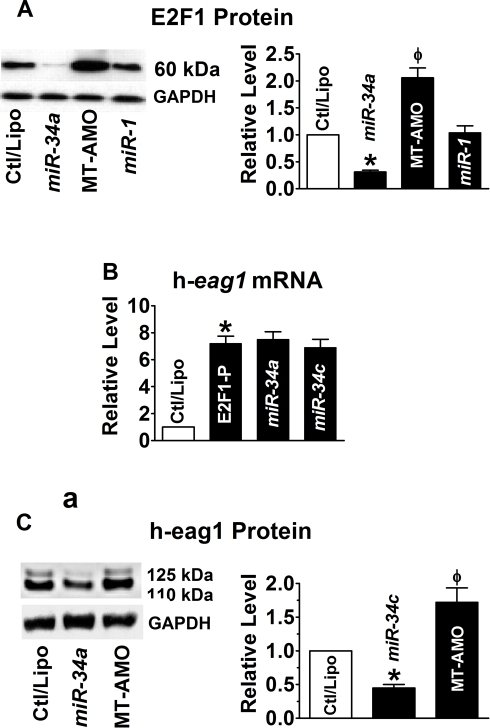 miR-34 as a post-transcriptional repressor of E2F1.(A) Effect of miR-34a on E2F1 protein levels in SHSY5Y cells. *p<0.05 vs Ctl/Lipo; φp<0.05 vs miR-34a alone; n = 6 for each group. (B) Inability of miR-34 to affect the overexpression of h-eag1 mRNA induced by transfection of the plasmid expressing the E2F1 cDNA. *p<0.05 vs Ctl/Lipo; n = 4 for each group. (C) Repression of h = eag1 protein levels by miR-34a in the presence of E1F1 overexpression by the vector containing the E2F1 cDNA. *p<0.05 vs Ctl/Lipo; φp<0.05 vs miR-34a alone; n = 4 for each group.