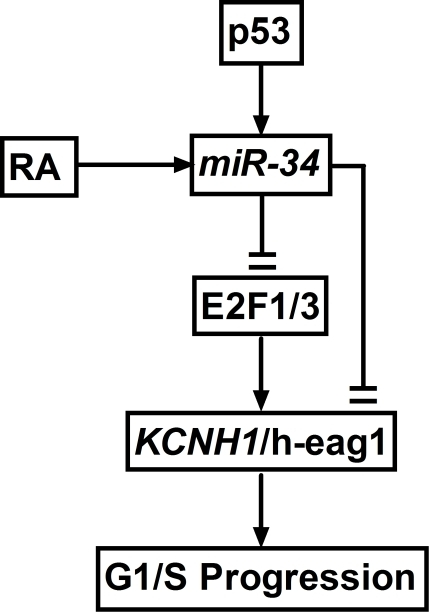Proposed model of the p53−miR-34−E2F1−h-eag1 signaling pathway.RA: retinoic acid, which has been shown to enhance miR-34 expression; E2F1/3: E2F1 and E2F3.