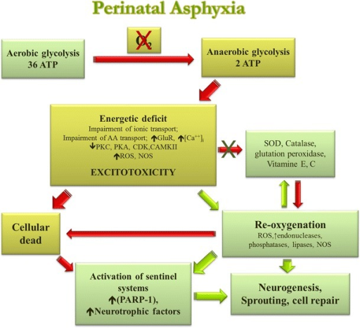 Neuropathological mechanisms induced by perinatal asphyxia in the neonatal brain. Following PA, energy failure leads to a shift from aerobic to anaerobic metabolism, resulting in a decreased rate of ATP and other energy compounds, lactate accumulation, decreased pH, and finally, over-production of reactive oxygen species (ROS). An ATP deficit leads to dissipation of ion gradients and membrane depolarisation, due to pumps decreased protein phosphorylation, with a subsequent increase in extracellular glutamate concentration. This results in over-activation of glutamate receptors inducing a massive influx of Ca2+ into cells, which activates proteases, lipases, endonucleases, and nitric oxide synthases that degrade the cytoskeleton and extracellular matrix proteins, producing membrane lipid peroxidation, peroxynitrites, and other free radicals. These events elicit a cascade of downstream intracellular processes that finally lead to excitotoxic neuronal damage and cell death. At the same time, antioxidative mechanisms get involved and DNA damage triggers the activation of sentinel proteins that maintain genome integrity, such as poly (ADP-ribose) polymerases (PARPs), but when overactivated, leads to further energy depletion and cell death. Depending upon time after asphyctic injury, re-oxygenation can lead to improper homeostasis, prolonging the energy deficit and/or generating oxidative stress. Oxidative stress has been associated with inactivation of a number of metabolic repair enzymes and further activation of degradatory enzymes, thus extending and maintaining damage. After acute damage, proliferation and sprouting are diminished, in agreement with a decrease in activity of Protein kinase C (PKC) and cyclin-dependent kinase (Cdk) observed after PA. But at long-term, release of neurotrophic factors promotes neurogenesis and neuritogenesis
