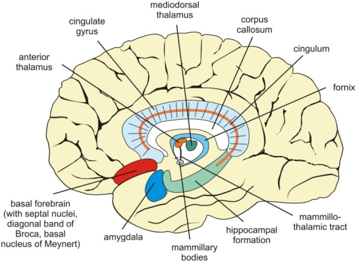 Sagittal View Of The Human Brain Showing Structures Cen Open I