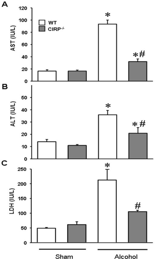 Clinical markers of organ injury were improved in CIRP−/− following alcohol exposure.WT and CIRP−/− mice were infused intravenously with alcohol for 15 h. Serum was collected and analyzed for AST (A), ALT (B) and LDH (C) using standardized assays. Data are presented as means ± SE (n = 5/group) and compared by one-way ANOVA and SNK method; *p<0.05 vs. respective Sham and #p<0.05 vs. WT alcohol group.