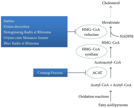 The simplified mevalonate pathway of cholesterol production. Potential therapeutic interventions in the pathway using conventional medications and TCMs are indicated. Dotted arrows: skipped pathway.