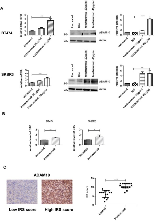 Treatment with trastuzumab leads to an increase of ADAM10 levels in vitro and in vivo(A) BT474 and SKBR3 cells were treated for 24h with the indicated doses of trastuzumab before ADAM10 mRNA and protein levels were assessed. The relative protein levels from the semi-quantification of three western blots are shown. (B) BT474 and SKBR3 cells were treated with 40μg/ml trastuzumab in serum-free media and betacellulin levels in the media were assessed in triplicate using ELISA after 24h. (C) Paraffin-embedded tumor slides from xenograft mice bearing BT474 tumors treated with trastuzumab (50 mg/kg loading dose and 25 mg/kg maintenance dose administered intraperitoneally twice a week) or saline (control) for a total of 5 doses [30] were stained for ADAM10 expression by IHC before being scored using IRS. Graphs show means ± SD.