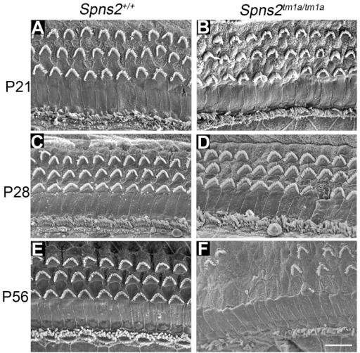 Progressive deterioration of hair cells shown by scanning electron microscopy.Spns2tm1a/tm1a mice have a normal structure of hair bundles compared with wildtype mice at P21 (A,B). Scattered or patchy outer hair cell (OHC) degeneration was observed in the middle turn at P28 (C,D). Most stereocilia of OHCs in basal and middle turn have degenerated and stereocilia of IHCs were fused or lost at P56 (E,F). All the images were taken from the middle turn of the cochlea, defined as 40–70% of the distance along the cochlear duct from the base. Scale bar: 10 µm.