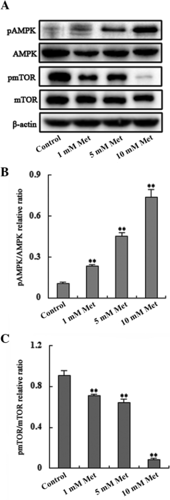 Met treatment increases phosphorylation of AMPK and decreases phosphorylation of mTOR. (A) Phosphorylation of AMPK was upregulated and phosphorylation of mTOR was downregulated in a dose-dependent manner. (B and C) Band intensities were quantified using Image Lab 5.0 software and were normalized to β-actin (**P<0.01, compared with the control). AMPK, AMP-activated protein kinase; mTOR, mammalian target of rapamycin; pAMPK, phosphorylated AMP-activated protein kinase; pmTOR, phosphorylated mammalian target of rapamycin; Met, metformin.