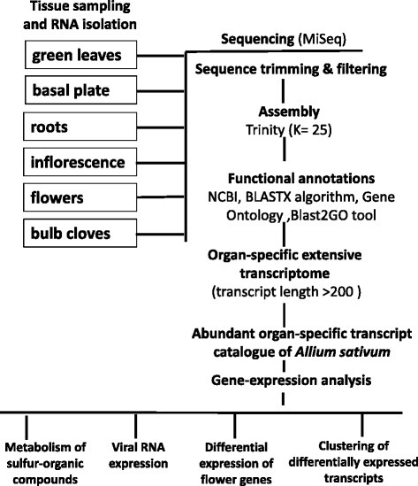 Experimental design of the sequencing, assembly, annotation, construction and analyses of the organ-specific transcriptome catalogues ofAllium sativum.
