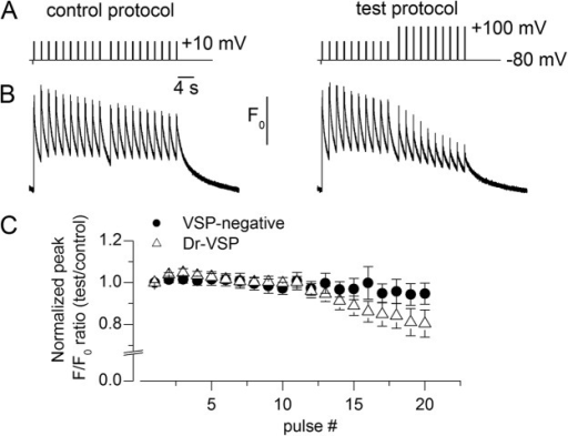 Ca2+ transients in response to trains of depolarizing steps in Dr-VSP–expressing fibers. (A) Control and test voltage-pulse protocols. (B) Rhod-2 F/F0 traces recorded in response to the protocols shown in A in a Dr-VSP–positive fiber. (C) Mean values for the normalized ratio of peak F/F0 during the test record to the corresponding peak F/F0 during the control record, versus the pulse number in Dr-VSP–positive fibers (n = 7). Mean values for VSP-negative fibers are the same as in Fig. 4. Error bars represent ± SEM.