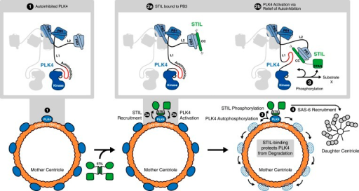 STIL binding to PLK4 regulates centriole duplication.Hypothetical mechanism for STIL-mediated PLK4 activation: (1) PLK4 is bound to the mother centriole. It is intrinsically inactive, likely due to an autoinhibition by linker L1. (2a) STIL binds to PLK4 that has been recruited to centrioles through interactions with CEP192 and/or Cep152. (2b) STIL binding relieves the autoinhibition of PLK4, thus activating PLK4. (3) Activated PLK4 phosphorylates STIL in the STAN motif, which induces SAS-6 recruitment and daughter centriole biogenesis (4). Activated PLK4 also phosphorylates neighboring PLK4s in the degradation motif, triggering their degradation. At the site of cartwheel formation, the STIL-bound PLK4 is protected against degradation.DOI:http://dx.doi.org/10.7554/eLife.07888.019