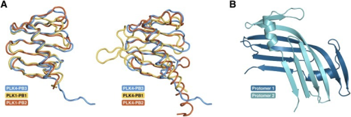 PB3 adopts a canonical Polo-box fold.(A) Comparison of the fold of PLK4-PB3 (lightblue) to the folds of PB1 (1.7 Å rmsd, 72 Cα) and PB2 (1.3 Å rmsd, 79 Cα) of PLK1 (PDB accession code: 1Q4O, left) (Cheng et al., 2003) and of PB1 (2.5 Å rmsd, 66 Cα) and PB2 (1.4 Å rmsd, 68 Cα) of PLK4 (PDB accession code: 4N9J, right)(Park et al., 2014) by structural superposition (Krissinel and Henrick, 2004). For the alignments the crystal structure of PLK4-PB3 was used. (B) Crystal structure of the domain-swapped dimer of the PLK4-PB3 murine ortholog SAK in cartoon representation (Leung et al., 2002).DOI:http://dx.doi.org/10.7554/eLife.07888.014