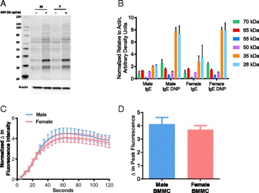 FcεRI-mediated p-tyrosine expression and Ca2+ mobilization in female and male murine BMMCs. After sensitization with anti-DNP IgE, BMMCs were stimulated with DNP-HSA (62 ng/ml) for 7 min. Results from female and male BMMCs showed no differences in a tyrosine phosphorylation of proteins after FcεRI engagement, b quantification of tyrosine-phosphorylated proteins (n = 4), or Ca2+ influx as indicated by Ca2+ tracings (c) and quantified as the d change in peak fluorescence (n = 3). Values represent mean ± SE