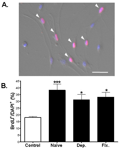 Effects of antidepressant-activated astrocytes on the proliferation of NPCs in a contact-independent culture system. (A) Proliferation of NPCs co-cultured with astrocytes using the Banker culture system. The astrocytes were not in contact with NPCs and could affect NPCs only through a diffusible factor. After BrdU immunocytochemical analysis, the nuclei were stained with DAPI (blue). An arrowhead (pink color) marks BrdU-labeled NPCs. Scale bar, 50 μm. (B) Quantification of the proliferation of NPCs. NPCs in control group were not exposed to astrocytes. In comparison with the control group, naïve astrocytes increased the number of BrdU (+) NPCs. However, in comparison with naïve astrocytes, those treated with 10 μM of desipramine or fluoxetine did not further increase the proliferation of NPCs (p > 0.05). Data shown are mean values ± SEM. One-way ANOVA was used for intergroup comparison, Tukey's multiple comparison test was used for post-hoc comparisons.