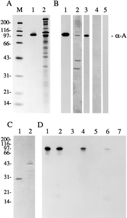 Specificity of the α-actinin–CRP1 interaction under  nondenaturing conditions. (A) A Coomassie blue–stained gel  showing molecular mass markers M, purified α-actinin (lane 1),  and the 27–34% ammonium sulfate precipitate from avian  smooth muscle extract (lane 2) that was loaded onto the affinity  columns and used in the affinity resin binding assay. (B) Lane 1,  Western immunoblot analysis of the 27–34% ammonium sulfate  precipitate that was loaded onto the affinity columns using a  polyclonal antibody raised against chicken α-actinin; lane 2, silver-stained gel showing the proteins eluted from the CRP1 column; lane 3, Western immunoblot analysis of the proteins shown  in lane 2 using a polyclonal antibody raised against α-actinin; lane 4,  silver-stained gel showing the material eluted from the BSA column; lane 5, Western immunoblot revealed that no α-actinin  bound to the BSA column (α-a, α-actinin). (C) Coomassie blue– stained gel showing the purified GST (lane 1) and GST-CRP1  (lane 2) proteins that were used to generate the affinity resins.  (D) Western immunoblot analysis to detect chicken α-actinin.  The gel was loaded with α-actinin (lane 1) or a 27–34% ammonium sulfate precipitate from a smooth muscle cell extract (lane  2). Purified α-actinin or proteins found in the 27–34% ammonium sulfate precipitate were incubated with GST agarose (lanes  3 and 5) or GST-CRP1 agarose (lanes 4 and 6). α-Actinin binds  to the GST-CRP1 affinity resin. A mock affinity resin binding assay was performed with GST-CRP1 agarose beads in the absence  of α-actinin; no immunoreactive product is observed (lane 7). (E)  [125I]α-actinin was incubated with GST-CRP1 (left) or GST agarose beads (right) in the absence of competing proteins (+  buffer), in the presence of a 2,000-fold molar excess of unlabeled  α-actinin (+ unlabeled α-actinin), or in the presence of an equivalent molar amount of BSA (+ BSA). The counts bound to the  agarose beads were analyzed using a γ counter and expressed as a  percentage of bound [125I]α-actinin in absence of competing proteins. Mean and SEM from three experiments are shown.
