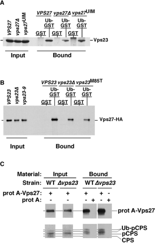 ESCRT-I and Vps27 bind Ub independently of one another in vitro. (A) Extracts were prepared from MBY52 cells expressing the indicated VPS27 alleles and incubated with immobilized GST or Ub-GST (Ub-GST). ESCRT-I binding was visualized by Western blotting with anti-Vps23 antisera. (B) Extracts were prepared from DKY61 cells expressing the indicated VPS23 alleles and incubated with immobilized GST or Ub-GST. Vps27-HA binding was visualized by Western blotting with anti-HA antisera. (C) Cellular membranes were isolated from DKY61, solubilized and protein A–Vps27 was purified under native conditions and bound material was probed by Western blotting with anti-Vps27 or anti-CPS antisera.