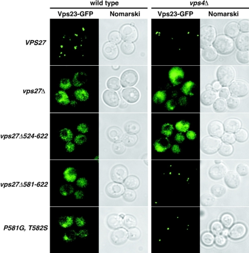 Identification of a region in Vps27 involved in the efficient recruitment of ESCRT-I to endosomes. Localization of Vps23-GFP in vps27Δ cells (MBY21; left column) or vps4Δ vps27Δ cells (DKY79; right column) expressing either wild-type or indicated mutant forms of Vps27 from a plasmid was observed by fluorescence and Normarski microscopy.