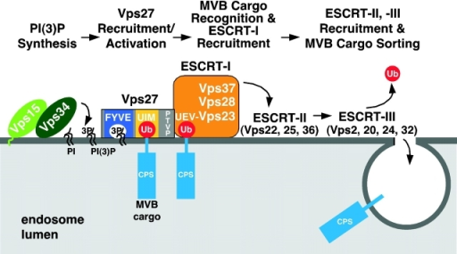 Model for compartment specification of Ub-dependent sorting into MVB vesicles. The Vps15/Vps34 complex synthesizes PI(3)P on endosomal membranes. The class E Vps protein Vps27 is targeted to PI(3)P- containing endosomal membranes via its FYVE domain (dark blue) where it can bind ubiquitinated MVB cargo via its UIM motifs (yellow). Vps27 subsequently recruits/activates ESCRT-I (orange) on endosomes. Ubiquitinated cargo (such as pCPS) is recognized by ESCRT-I (via the Ub E2 variant domain of Vps23), which initiates cargo entry into MVB vesicles. The action of a number of additional class E Vps proteins (ESCRT-II and ESCRT-III) is required for not only the function of this pathway but also for recruiting the deubiquitinating enzyme to remove Ub from cargo before its entry into invaginating vesicles. The concerted action of these proteins results in the sorting of cargo into the MVB pathway.