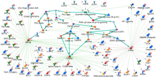 Potential transcription regulation of genes through pathways secondary to stimulation of TLR7. Protein-interaction network was generated for expression changes in pDC stimulated with 3M-852A and 3M-011 4 hr post stimulation. Network was generated using the Analyze network (receptor) and the direct interactions algorithms using the whole expression data. The network shows genes altered in expression in the data set that are transcriptionally regulated through NFkB, c-Myc, and CREB1. Potential activation of these transcription factors through the chemokine receptor CCR1, CCR3 and the IL8 receptors is depicted. Bold green lines highlight the canonical pathways for activation of the three transcription factors. Fine lines going out of the transcription factors designate transcription regulation. Remaining network details are as described in Figure 6.