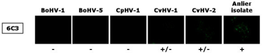 Indirect immunofluorescence staining of MDBK cells infected with either BoHV-1, BoHV-5, CpHV-1, CvHV-1, CvHV-2, or the Anlier isolate. Cells were incubated until viral plaques appeared and were then treated as described in Materials and Methods. 6C3 is the primary antibody and was detected by FITC-conjugated rabbit immunoglobulin anti-mouse IgG. Presence of viral plaques was checked by transmission microscopy before epifluorescence microscopy. All immunofluorescence stainings were performed three times. Symbols: +, positive signal; -, negative signal; +/-, weak signal.