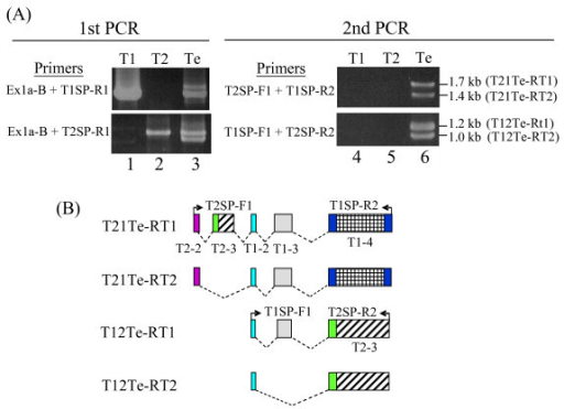 Detection of T1–T2 chimeric transcripts in the testis. (A) RT-PCR profiling of T1–T2 chimeric transcripts. Two rounds of nested PCR were performed using oligo(dT)-primed RT products of the testis mRNA. In the first-round PCR, the consensus Ex1a-B and the T1- or T2-specific 3'-UTR primers, T1SP-R1 and T2SP-R1, respectively, were used (see Figure 1A for relative positions and Table 2 for sequence details); in the second-round PCR, the exon 3 (T1) or exon 2 (T2)-based T2SP-F1 or T1SP-F1 primers were used in combination with T1SP-R1 and T2SP-R1. The T1 and T2 plasmids were used as controls in both rounds of PCR (lanes 1–2 and 4–5). The PCR products (with designations in brackets) generated in the second-round PCR (lane 6) were cloned and sequenced. (B) Schematic depiction of the PCR products derived from (A). The exons of the transcripts are shown using the same colour code and exon designation as in Figure 2. Primers used in the second-round PCR are also shown.