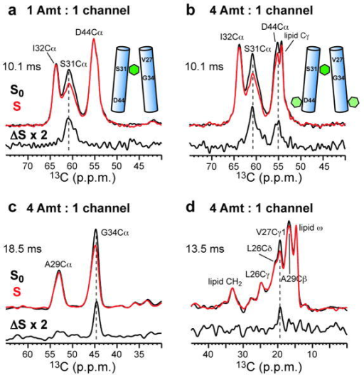 Drug-protein proximities from 13C{2H} REDOR spectra of Amt-bound M2 in DMPC bilayers at two Amt/P ratiosControl (S0), dephased (S, red), and difference (ΔS) spectra at specified mixing times are shown. a. Ser31, Ile32, Asp44-labeled (SID) M2 at the stoichiometric ratio of Amt/P = 1 : 4. b. SID-M2 at the 4-fold excess ratio of Amt/P = 4 : 4. Ser31 Cα is dephased under both conditions but Asp44 Cα is dephased only when Amt is in excess. c-d. Leu26, Val27, Ala29, and Gly34-labeled (LVAG) M2 at Amt/P = 4 : 4. c. Gly34 Cα region. d. Val27 Cγ1 region.