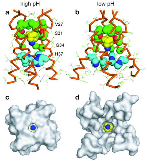 Comparison of the high-pH SSNMR structure of Amt-bound M2 in lipid bilayers with the low-pH crystal structure of Amt-bound M2a. Side view of the high-pH SSNMR structure, showing Amt to be enclosed by Val 27 at the top and His 37 at the bottom. b. Side view of the low-pH crystal structure 2. The helices are splayed far apart near the C-terminus. c. C-terminal view of the high-pH structure, showing a well-sequestered drug. d. C-terminal view of the low-pH structure, showing a more solvent-accessible drug. The figure was generated using the program PyMOL.
