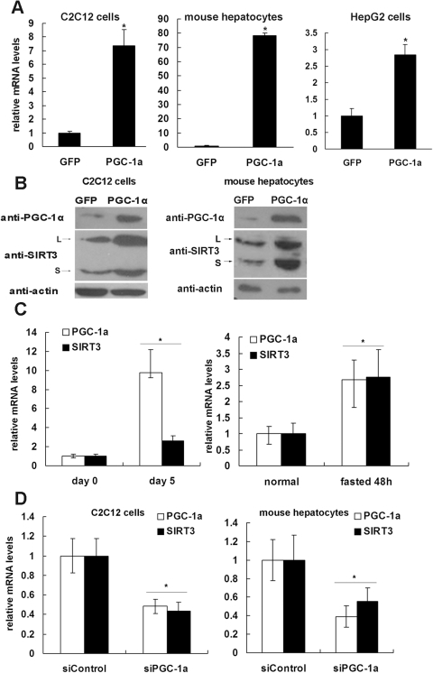 PGC-1α regulates the expression of SIRT3.A, Differentiated C2C12 cells (left panel), primary hepatocytes isolated from mouse liver (middle panel) and HepG2 cells (right panel) were infected with adenoviruses expressing GFP (control) or PGC-1α. Cells were harvested 48 h after infection, and total RNA was extracted. The mRNA levels of Sirt3 were quantified by qPCR, normalized to β-actin, and expressed relative to the GFP-expressing control cells. B, C2C12 myotubes and primary hepatocytes were treated as described in Panel A, and SIRT3 protein level was determined by western blotting. Two specific bands of SIRT3 in C2C12 (left panel) and primary hepatocytes (right panel) were detected. L, long form of mSIRT3 (approximately 37 kDa). S, short form of mSIRT3 (approximately 28 kDa). C, left panel, C2C12 myoblasts were induced to differentiate into myotubes. Cells were harvested on day 0 (before differentiation) and day 5 (after differentiation), and total RNA was isolated. C, right panel, Total RNA was extracted from normal or fasted mouse livers. The mRNA levels of PGC-1α and Sirt3 were quantified by qPCR, normalized to β-actin and expressed relative to levels in the control. D, Differentiated C2C12 (left panel) and primary hepatocytes (right panel) were infected with adenovirus expressing luciferase shRNA (siControl) or PGC-1α shRNA (siPGC-1α). Cells were harvested 48 hours after infection, and total RNA was extracted. The mRNA levels of Sirt3 and PGC-1α were quantified by qPCR, normalized to β-actin, and expressed relative to the control cells. *, P<0.05.