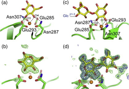Structure of the CRD of langerin bound to laminaritriose. The color scheme is the same as that described in Fig. 2. (a) Nonreducing glucose residue bound to monomer C. (b) Fo − Fc electron density map (green), calculated by omitting the sugars (3.0σ) showing laminaritriose monomer C. (c) The reducing and central glucose residues visible in monomer B. (d) Fo − Fc electron density omit maps of langerin CRD bound to laminaritriose monomer B. Map contours at 3.0σ and 2.2σ are shown in blue and green, respectively.