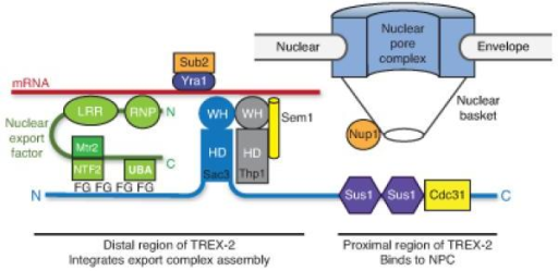 Schematic illustration of how the TREX-2 complex integrates the formation of an export competent mRNP adjacent to NPCs. The proximal region of Sac3 to which Sus1 and Cdc31 are attached binds to components of the nuclear basket such as Nup1 whereas the distal region that contains the winged helix domains of Sac3 and Thp1 binds to mRNA, to which Yra1–Sub2 is also attached. The Mex67–Mtr2 nuclear export factor binds to the FG repeats in the distal region of Sac3, probably via its NTF2 and UBA domains that bind to FG-nucleoporins. This interaction brings the Mex67 LRR and RNP domains close to the mRNA, facilitating the Sub2-mediated remodeling that generates an export-competent mRNP close to the NPC.