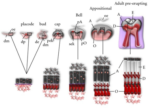 Stages and events of molar tooth development. Tooth morphogenesis is carried out by complex epithelium-ectomesenchyme interactions. Epithelial cells are depicted in gray and ectomesenchymal cells in red. As a consequence of sequential induction events, ameloblast (A) and odontoblast (O) cells start to differentiate at the interface between dental epithelium (de) and dental mesenchyme (dm) at the end of bell stage. Enamel (E) and dentin (D) tissues are secreted during the appositional stage, when the developing dental organ appears separated from the oral epithelium (oe). When enamel mineralization is completed, ameloblasts undergo regression, whereas odontoblasts will be maintained during the whole life of the tooth. The areas covered by squares are represented magnified below. Signaling centers during tooth morphogenesis are drawn as red circles: dental placode (dp), primary enamel knot (pek), and secondary enamel knot (sek). pA: preameloblasts; pO: preodontoblasts.