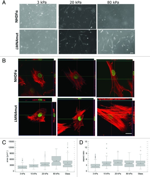 Figure 1. Effect of substrate stiffness on cell morphology and actin cytoskeleton organization. (A) Representative bright field images of NHDFα and LMNAmut cells seeded on polyacrylamide gels with stiffness ranging from 3 kPa to 80 kPa taken 48 h after seeding. Fewer and less spread cells were present on 3 kPa polyacrylamide gels than on stiffer substrates for both cell types. Scale bar: 100 μm. (B) Actin organization in NHDFα and LMNAmut (phalloidin-TRITC, red) showed increased organization and tension on substrates stiffer than 3 kPa. Green color is given by lamin B1 staining. Scale bar: 20 μm. (C and D) Cell area and aspect ratio presented as box-and-whisker plots. The measurements of NHDFα and LMNAmut did not show significant difference, thus the values were considered as a group.