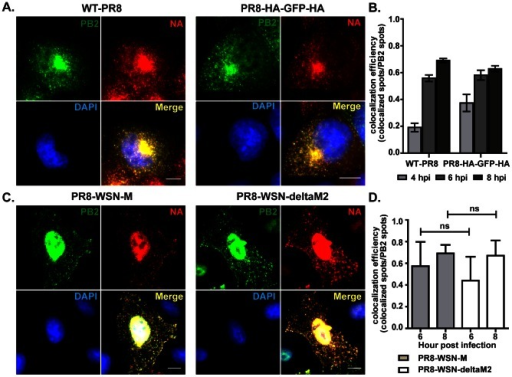 The colocalization of PB2 and NA vRNAs is independent of expression of viral proteins HA and M2.(A&B) MDCK cells were infected with either wild type PR8 (WT-PR8) or PR8-HA-GFP-HA viruses and fixed for two-color smFISH analysis against PB2 and NA vRNAs at 4, 6 and 8 hpi. (A) DAPI signal (blue), Cy5 fluorescence for PB2 vRNAs (green) and Cy3 fluorescence for NA vRNAs (red) for the cells infected with WT-PR8 and PR8-HA-GPF-HA viruses at 8 hpi (Maximum Intensity Projection). Scale bar = 10 µm. (B) Colocalization efficiency between PB2 and NA vRNAs in the cytoplasm of cells infected with either WT-RP8 or PR8-HA-GFP-HA viruses is shown. Error bars denote standard deviation. ns: t-test p value>0.05; no significance. (C&D) MDCK cells were infected with either PR8-WSN-M or PR8-WSN-ΔM2 at MOI = 5 and two-color FISH targeting the PB2 (Cy5 labeling) and NA (Cy3 labeling) vRNAs was performed at 6 and 8 hpi. (C) Fluorescent images of infected cells hybridized with Cy5 PB2 probes (green) and Cy3 NA probes (red) at 8 hpi (Maximum Intensity Projections). DAPI staining (blue) stains the nucleus of the cell. Scale bar = 10 µm. (D) Colocalization efficiency of PB2 and NA vRNAs in the cytoplasm of cells infected with PR8-WSN-M or PR8-WSN-ΔM2. Error bars denote standard deviations. ns: un-paired t-test no significance.