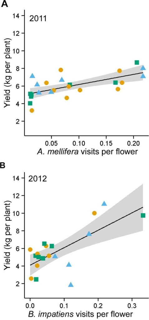 Relationship between yield and bee visitation frequency.Relationship between fruit yield and flower visitation frequency by Apis mellifera in 2011 (y = 5.02+11.53×) (A), and Bombus impatiens in 2012 (y = 4.11+19.82×) (B). Supplementation treatment (circle = A. mellifera supplementation, triangle = B. impatiens supplementation, square = nonsupplemented) was illustrated to show the lack of pattern among treatment groups, reinforcing that the point that fruit yield was not influenced by supplementation with managed bees. Supplementation treatment was not included as a factor in these regressions.