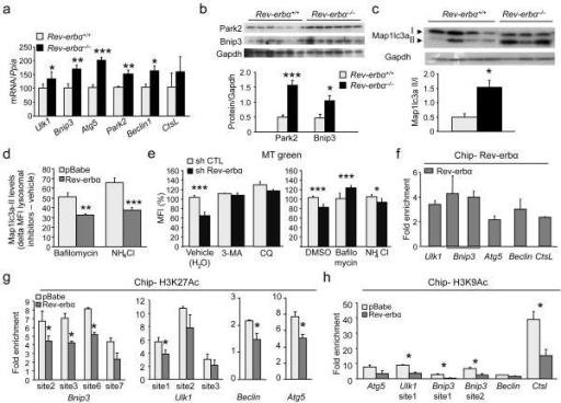 Rev-erb-α modulates skeletal muscle autophagy(a) RT-qP