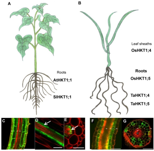 Targeted expression of AtHKT1;1 in the roots of both (A) dicotyledonous and (B) monocotyledonous plants. The targeted over-expression of AtHKT1;1 in the roots, regardless of the tissue as both over-expression in the (C) epidermal and cortical cells as well as (D and E) in the pericycle, resulted in enhanced salinity tolerance in Arabidopsis thaliana plants. Also in rice the overexpression of AtHKT1;1 in the (F and G) epidermis and cortical cells resulted also in enhanced salinity tolerance. This might be a useful strategy to use with other HKT genes to ameliorate the salt sensitivity of crop species. Bars: (C) 75 μm, (D and E) 40 μm, (F and G) 100 μm. Figure 3C,F,G reproduced with permission from [20]. Figures 3D,E reproduced with permission from [12].