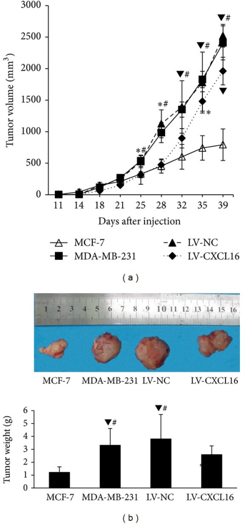 CXCL16 expression inhibited tumor development in vivo. Four groups of single cells (MDA-MB-231, LV-NC, LV-CXCL16, and MCF-7) were injected subcutaneously into mice and tumor growth was monitored. (a) CXCL16 overexpression led to a decrease in tumorigenesis. *P < 0.05 compared with MCF-7. #P < 0.05 compared with MDA-MB-231. ▼P < 0.01 compared with MCF-7. (b) CXCL16 overexpression reduced tumor volume and weight. #P < 0.05 compared with MDA-MB-231. ▼P < 0.01 compared with MCF-7. *P < 0.05 compared with MCF7.