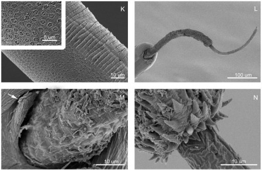 Scanning electron micrographs of Trichuris bainae n. sp. - SEM.(K) Bacillary band, with detail of bacillary glands. (L) Male, posterior end, ventral view. (M) Male, detail of the proximal portion of spiny spicular sheath. (N) Male, detail of the distal portion of spiny spicular sheath.