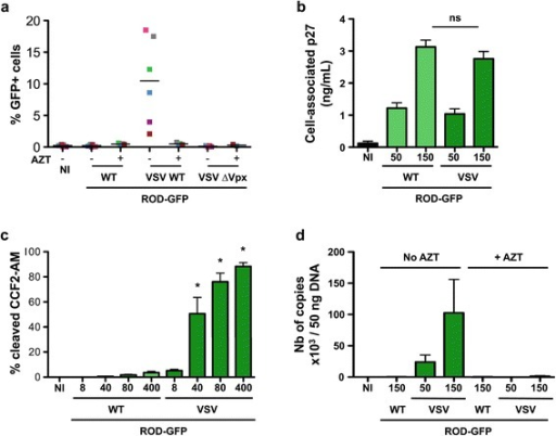 HIV-2 ROD-GFP and MDDCs. (a) Susceptibility of MDDCs to HIV-2 ROD-GFP infection. MDDCs were exposed to HIV-2 ROD-GFP, pseudotyped or not with VSV-G (50 and 150 ng p27 mL-1, respectively). After 3 days, the levels of GFP were measured by flow cytometry. Results from 6 independent donors are shown (b) HIV-2 ROD-GFP binding. MDDCs were exposed to the indicated doses of HIV-2 ROD-GFP, pseudotyped or not with VSV-G. After 2 h at 4°C, cells were extensively washed and the amount of cell-associated p27 was assessed by ELISA. Data are Mean ± SEM of 4 independent donors. ns: non significant (c) HIV-2 ROD-GFP fusion. MDDCs were exposed to the indicated doses of HIV-2 ROD-GFP, pseudotyped or not with VSV-G, and bearing the chimeric protein β-lactamase-Vpr. After 2 h at 37°C and 2 h at room temperature, viral access to the cytoplasm was assessed by flow cytometry, using the ability of β -lactamase to cleave the cytoplasmic CCF2-AM fluorogenic substrate. A mean ± SEM of 4 independent donors is shown. *: p-value < 0.05. Comparisons were made between the condition indicated and the no VSV condition at the same viral inoculum. (d) HIV-2 ROD-GFP DNA synthesis. MDDCs were exposed to HIV-2 ROD-GFP pseudotyped or not with VSV-G, in the presence or absence of AZT. After 3 days, the cells were harvested for HIV-2 DNA quantification by qPCR. Data are mean ± SEM of 4 independent donors.