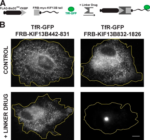 Identifying the domain of KIF13B that binds to endosomes. (A) As shown in the schematic, different regions of KIF13B tail tagged with FRB were coexpressed with tdTM-BicD2594-FKBP and TfR-GFP. (B) In control cells, TfR-GFP was distributed throughout the cell. After treatment with the linker drug TfR-GFP, vesicles were moved to the cell center in cells expressing FRB-3myc-KIF13B832–1,826 but not FRB-3myc-KIF13B442–831. The yellow lines outline the cell boundaries. Bar, 30 µm.