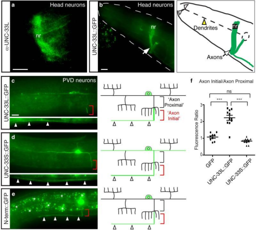 UNC-33L is enriched in PVD axons(a) UNC-33L immunoreactivity in nerve ring of wild-type animal.(b) Biologically active UNC-33L::GFP protein expressed from a pan-neuronal promoter in wild type animal, showing localization in nerve ring axons and absence from sensory dendrites. nr, nerve ring.(c-e) Representative images of UNC-33L::GFP, UNC-33S::GFP, and UNC-33L N-terminus::GFP proteins in wild type PVD neurons, with schematic diagrams at right. Red brackets indicate region of UNC-33L enrichment in axon, and arrowheads show expression in ventral nerve cord. Black brackets indicate proximal segment of PVD axon used for comparing fluorescence intensities in (f).(f) Quantification of UNC-33L::GFP, UNC-33S::GFP, and GFP fluorescence, expressed as ratio of 'axon initial' domain to 'axon proximal' domain. Error bars indicate s.e.m. *** p < 0.001 according to the Bonferroni t-test, ns, not significant. Anterior is at left and dorsal is up in all panels. Scale bars, 10 μm.