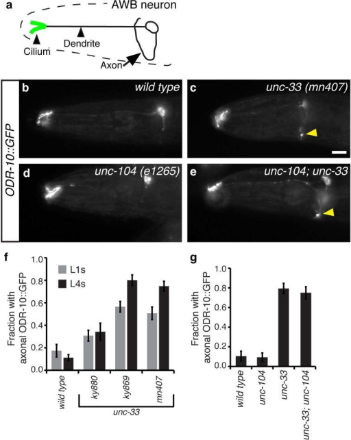 A sensory chemoreceptor protein is mislocalized to axons in unc-33 mutants(a) Schematic diagram of AWB chemosensory neurons in the head. (b) Representative maximum projection fluorescence images showing ODR-10::GFP localization in AWB neurons of wild type, unc-33, unc-104, and unc-104; unc-33 double mutant animals. Yellow arrowheads indicate ODR-10::GFP in axons. Anterior is at left and dorsal is up in all images. Scale bar, 10 μm.(c,d) Quantification of animals with ODR-10::GFP fluorescence in axons (n>30 animals per genotype). Error bars indicate s.e.p.