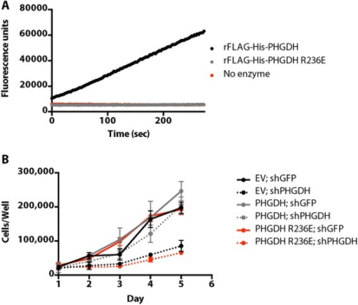 PHGDH enzymatic activity is required for cell proliferation following PHGDH knockdown. (A)In vitro enzyme activity assessed by tracking NADH production by fluorescence. The assay was performed at saturating substrate concentrations. (B) Cell number over time for PHGDH-amplified T.T. cells stably expressing shRNA-resistant PHGDH wild type or R236E (enzymatically dead) cDNAs or empty vector (EV) control when infected with virus expressing GFP or PHGDH shRNA. Error bars show standard deviation from the mean.