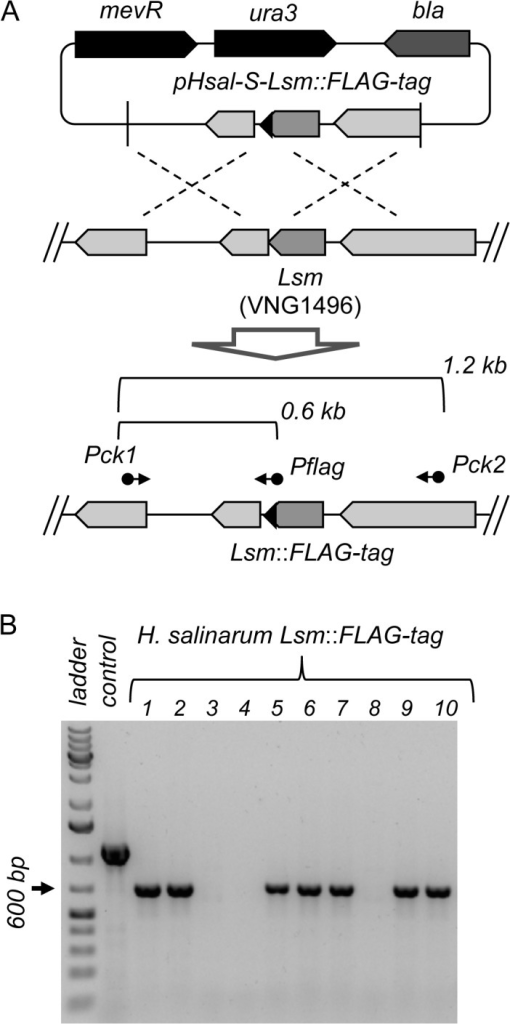 Construction of H. salinarum strains with chromosomal tags.(A) A suicide plasmid pHsal-S-Lsm::FLAG-tag, harboring a modified flanking region of the Lsm gene to introduce a FLAG-tag epitope, was transformed into H. salinarum. Double recombination events were selected and correct incorporation of the FLAG-tag was checked using primers Pck1 and Pflag. As a control, primers Pck1/Pck2 were used to amplify the whole flanking region of the Lsm coding gene. (B) PCR validation of the FLAG-tag incorporation. Ten (numbered from 1 to 10) independent colonies were selected and screened using primers Pck1/Pflag, which should give rise to an amplification band of ~ 600 bp. The 1.0 kb DNA ladder is shown on line 1, while line 2 shows the amplification control, representing the flanking region obtained using primers Pck1/Pck2.